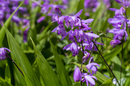鮮やかな紫色のシランの花