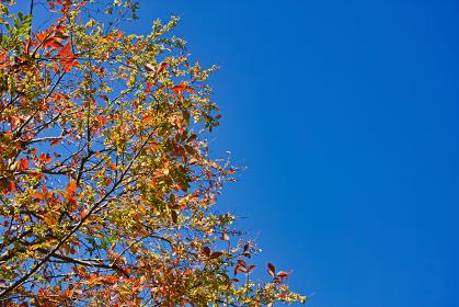 下から見上げた翼果のついたアキニレの紅葉と青空