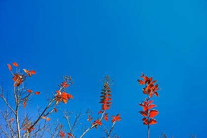 青空背景の下から見上げた下側に実のついたサルスベリの紅葉