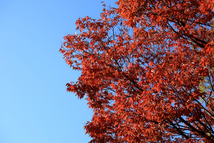 空と木 12 青空と色付いた木