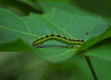 葉の上にいる毛虫