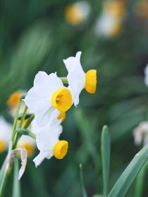 白い花スイセン