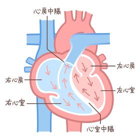 心臓のイラスト・図説(血液の流れ・文字あり)