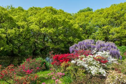 満開の藤の花と色とりどりの花々 4月