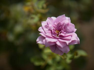 秋の紫色のバラ