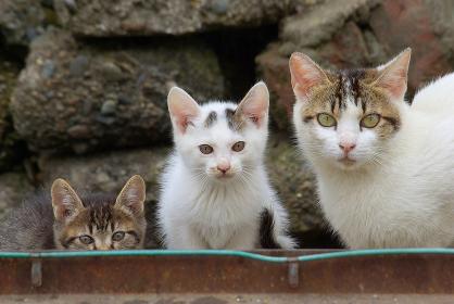 カメラ目線の親猫と2匹の子猫