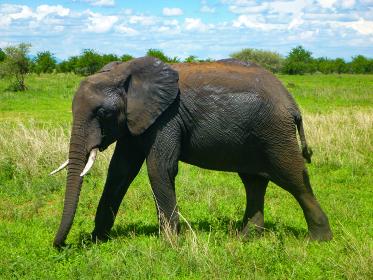 タンザニア・ンゴロンゴロ国立公園サファリゲームにて1匹の大人のゾウ