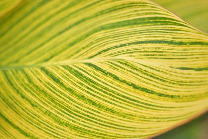 カンナベンガルタイガーの斑入りの葉