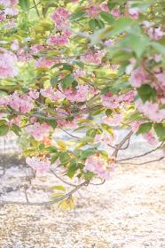 八重桜と花びらの絨毯