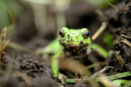 正面を見る泥遊びをしたカエル
