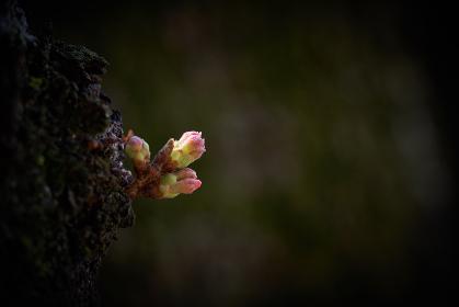 スポットライトのように光を浴びて輝く桜の蕾
