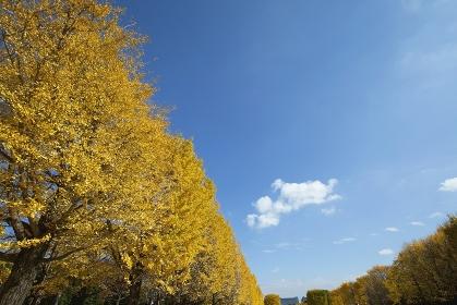 昭和記念公園のイチョウ並木と青空