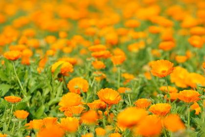 一面に咲くオレンジ色のキンセンカの花畑