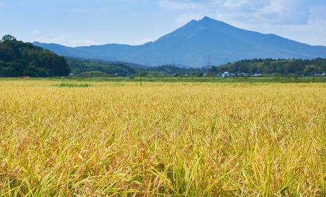 色づく稲穂と筑波山の風景