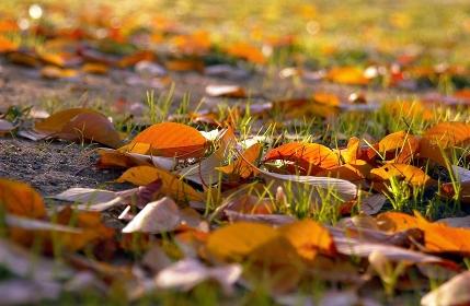 朝日に光る落葉