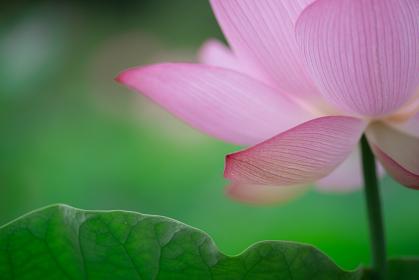 蓮の花びらと水滴 7月