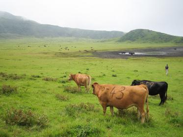 熊本県阿蘇の牛・日本