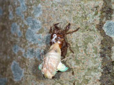 蝉の幼虫からの羽化(アブラゼミ)