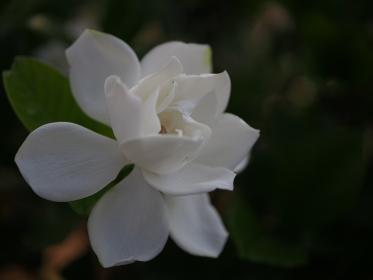 薄明りに白く浮かぶクチナシの花