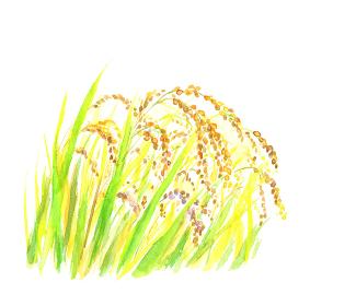水彩で描いた黄金の稲穂のイラスト