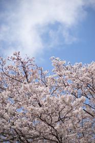 満開の桜の花(クローズアップ)
