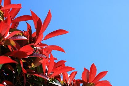赤い若葉と青空(横)