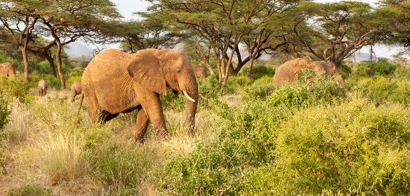 Elephants walk through the jungle amidst a lot of bushes