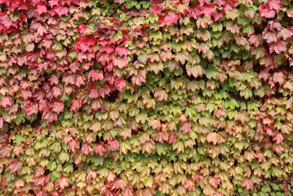 赤く色づいたツタの葉