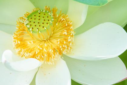 白い蓮の花の蕊