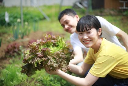 サニーレタスを収穫する夫婦