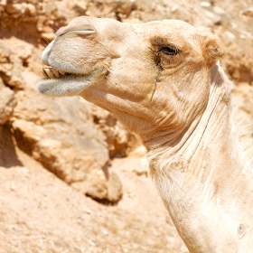 dromedary near the sky in oman empty quarter of desert a  free