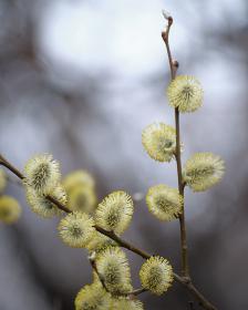 バッコヤナギの花