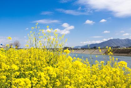 遠賀川河川敷の菜の花 福岡県直方市