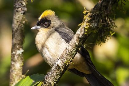 Beautiful brown, yellow and black bird in Atlantic Rainforest tree , Penedo, RJ, Brazil
