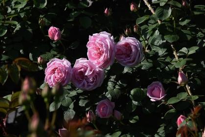 バラ園のバラの花