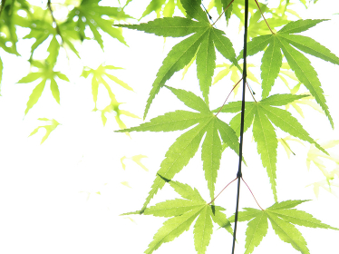 新緑のカエデの葉