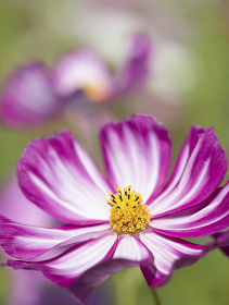 コスモスの花