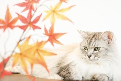 もみじと猫 / 秋のイメージ
