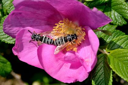スズメバチに擬態するヒメヨコジマナガハナアブ