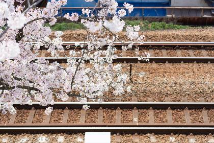 線路と満開の桜の花(日本・広島・尾道)