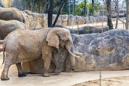 仙台の八木山動物園のゾウ