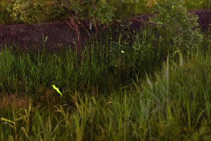 夏の夜川辺を飛び回るホタル