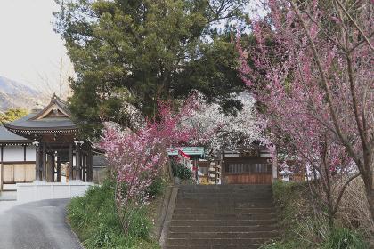 梅の咲く境内