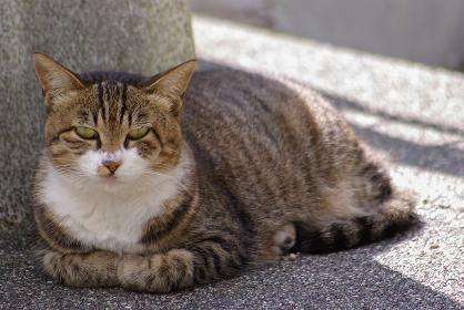 伏せてカメラ目線のキジトラ白猫