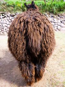 ペルー・クスコ近郊のアルパカ牧場での茶色いアルパカの可愛いもふもふのおしり