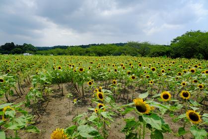 鹿児島市都市農業センターの広大な向日葵畑