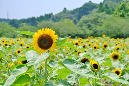 都市農業センターの美しい向日葵の景色