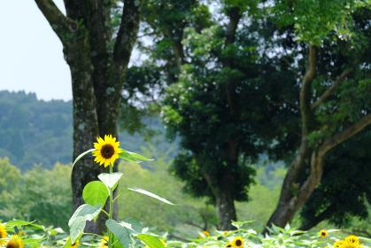 高く成長した向日葵