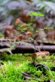 苔の絨毯から伸びる新芽の葉