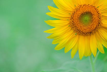 ひまわり畑の向日葵
